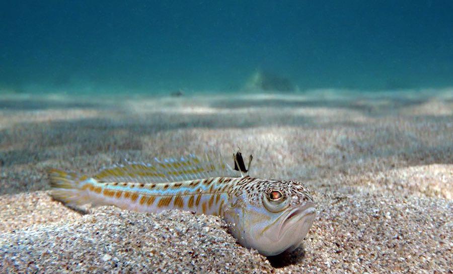 Hay en el mar mediterr neo fauna potencialmente peligrosa - Fotos de peces del mediterraneo ...