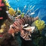<!--:es-->El precioso pez león, nuevo invasor del Atlantico y Mediterráneo<!--:-->