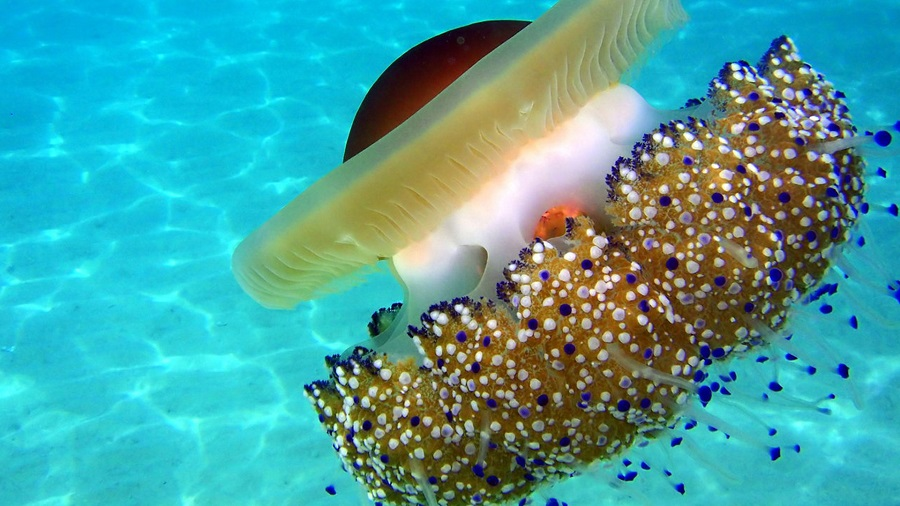 medusas 2
