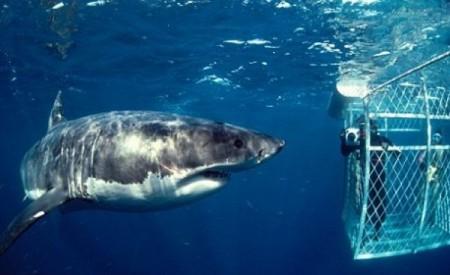 Tiburón-blanco-3