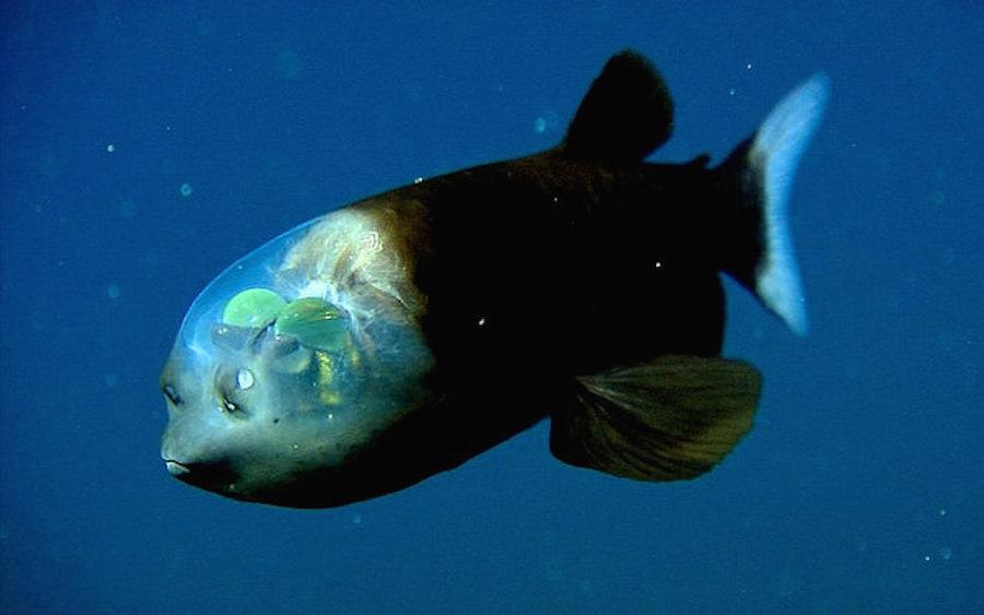 El pez cabeza transparente hermoso o terror fico for Pesci con la e