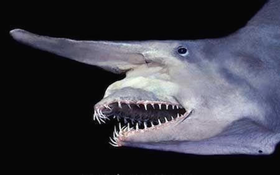 Tiburón-Duende