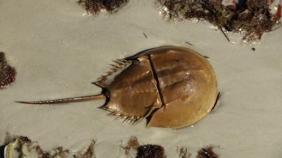 Resultado de imagen de cangrejos de herradura