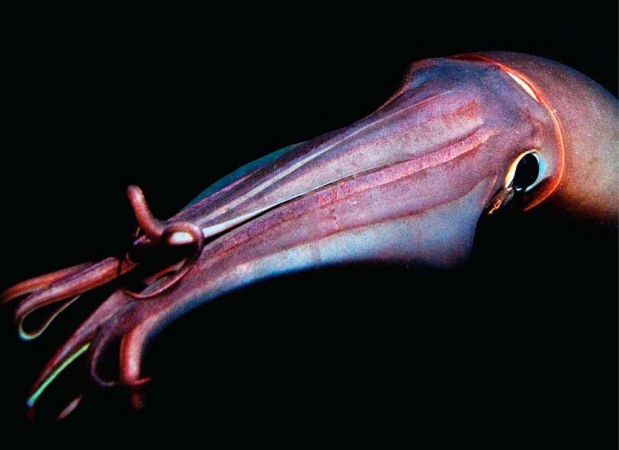 calamar gigante 4