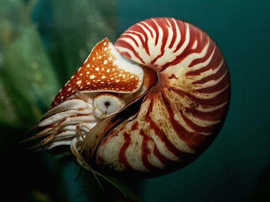 Nautilus 1