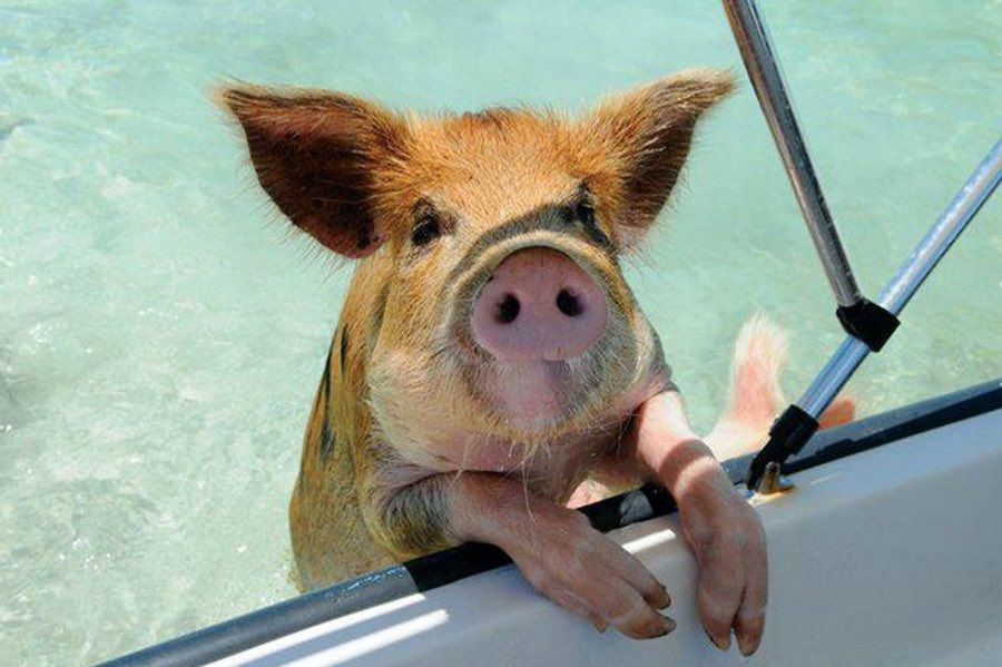 pig island 1