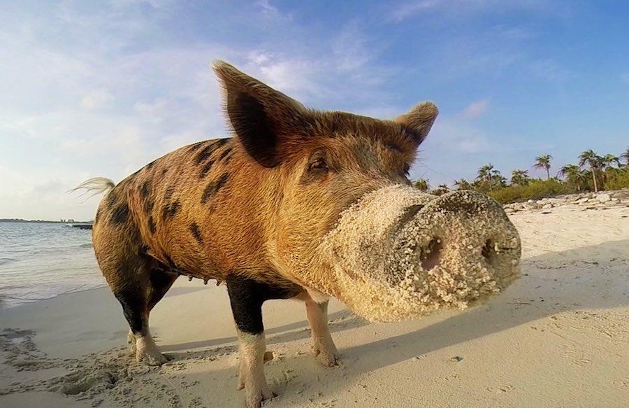pig island 2