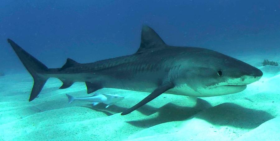 tiburon tigre 2