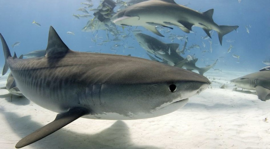 tiburon tigre 3