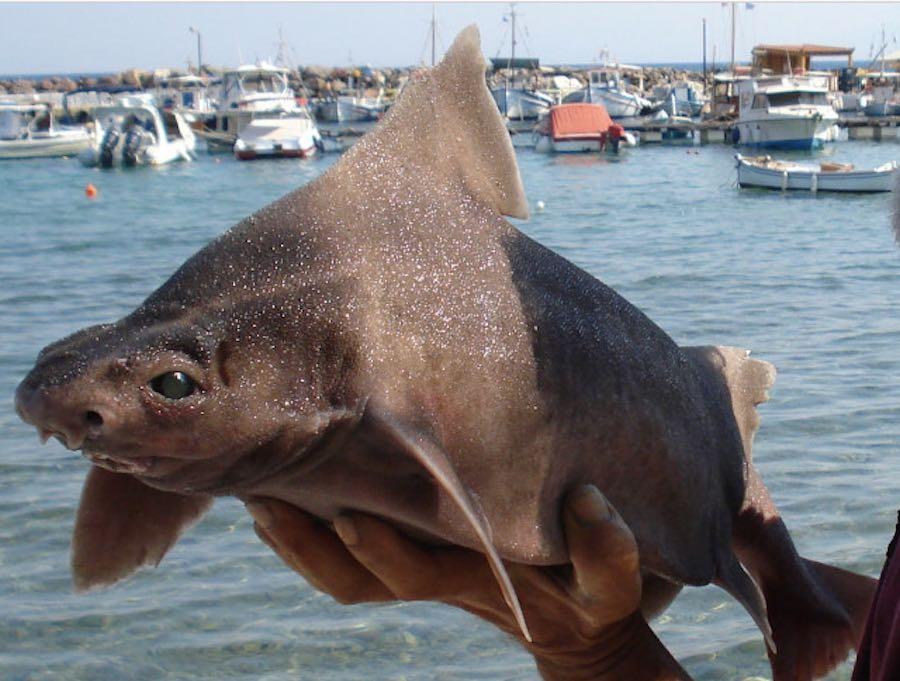 Tiburón cerdo...¿Realmente son temibles todos los tiburones?