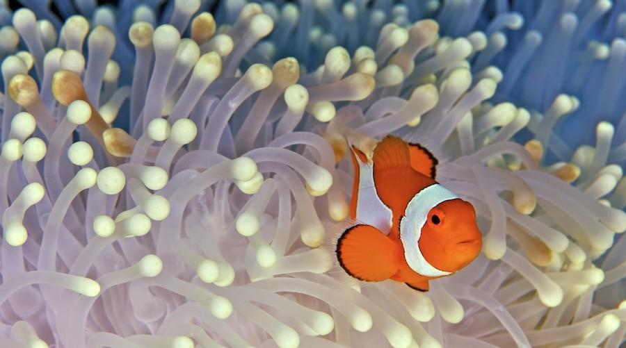 Todo lo que necesitas saber sobre el pez payaso for Como se cultivan los peces