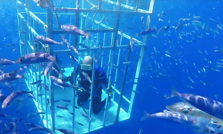 tiburón blanco-guadalupe-3