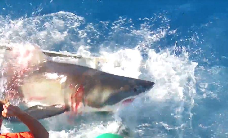 tiburón blanco-guadalupe-7