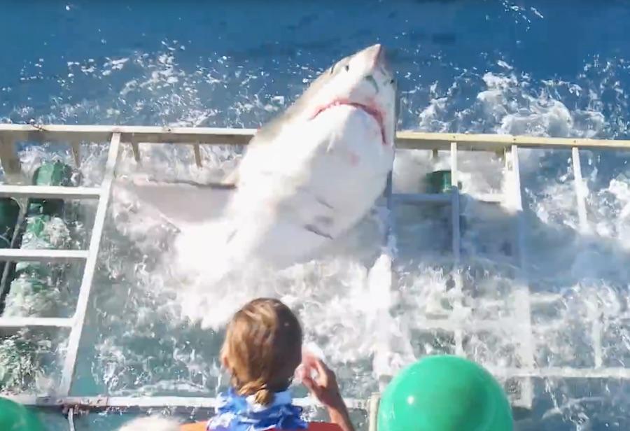 tiburón blanco-jaula-seguridad-1
