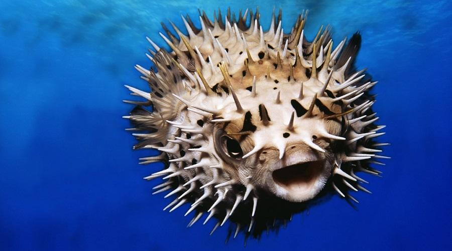 pez globo 2