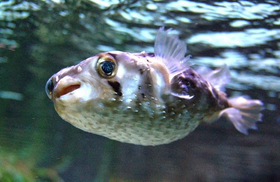 pez-globo-7