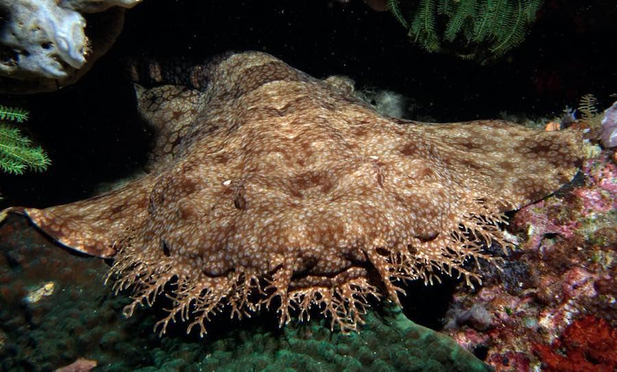 Sabes que es un wobbegong conoce al tibur n alfombra for Que significa alfombra