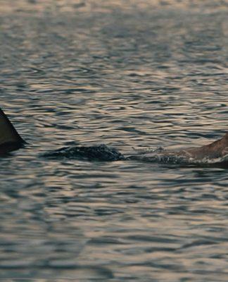 Tiburón y perro