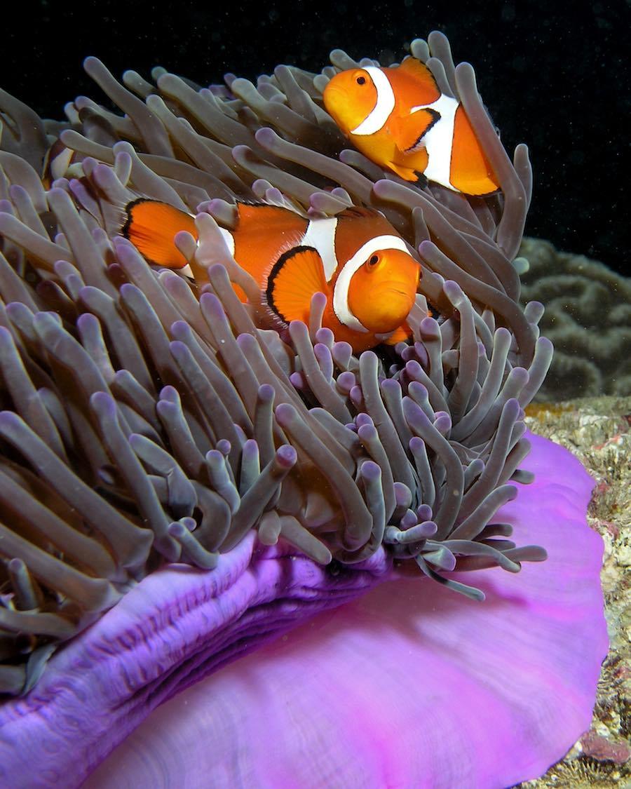 Pez Payaso - Nemo