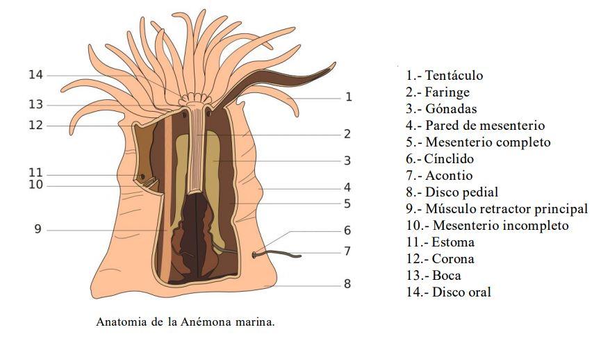 partes de una anemona