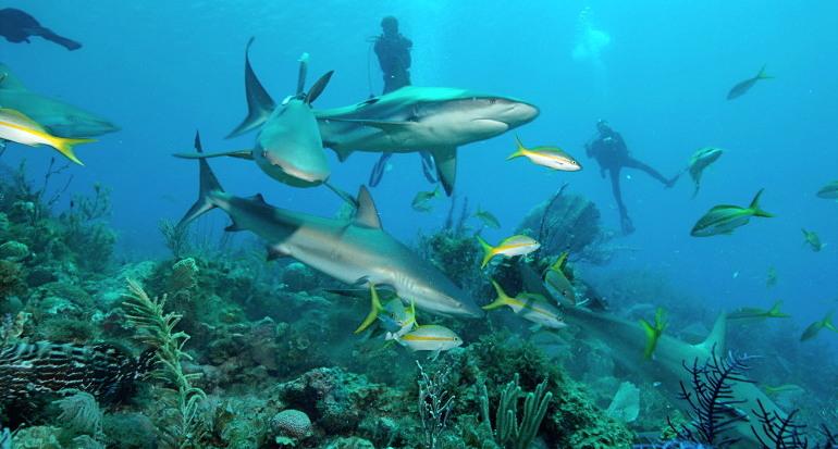 tiburones del Caribe