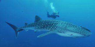 tiburones caribeños