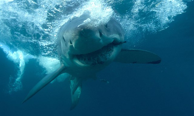 Cazar tiburones
