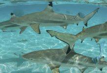 Caza de tiburones