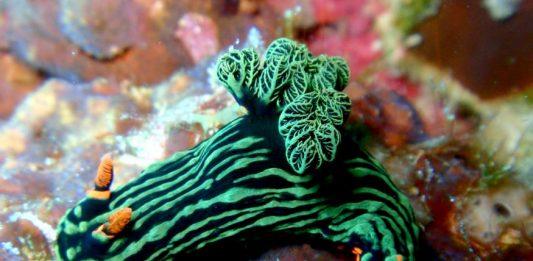 babosas de mar