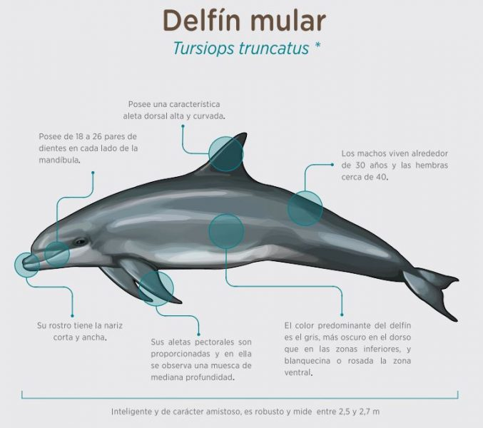 caracteristicas del delfil mular