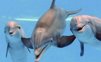 características delfin mular
