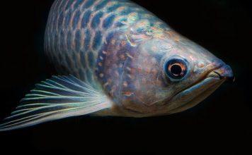 peces electricos marinos