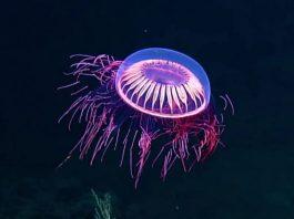 medusa halitrephes maasi