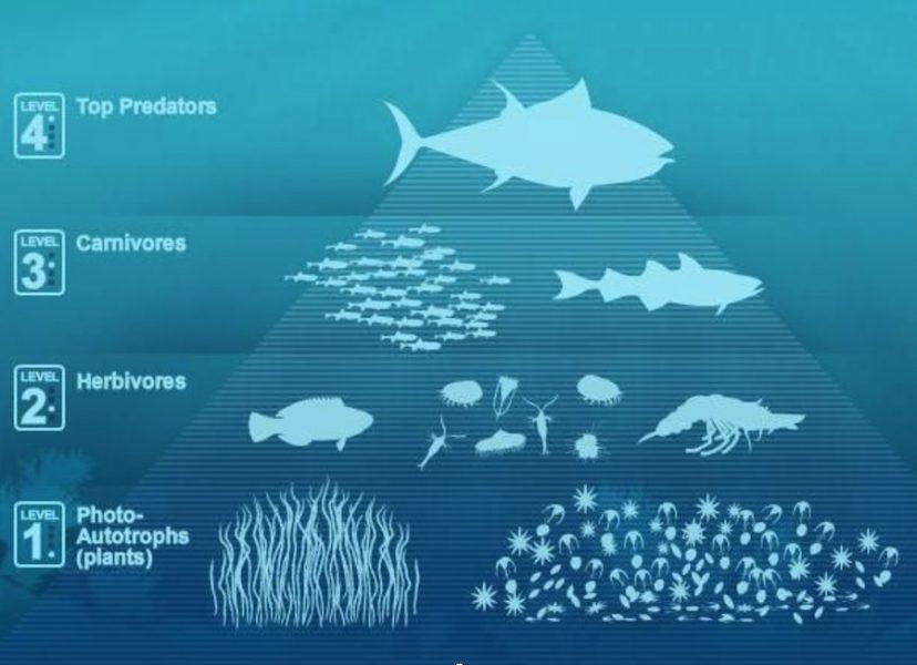Atun rojo - Top predadores oceanos